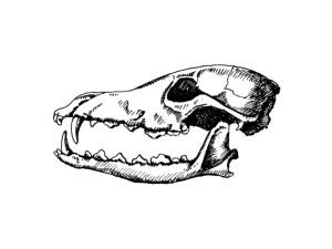 Wolf Skull Sketch